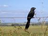 Smooth-billed Ani (Crotophaga ani) - Wiki