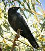 Little Crow (Corvus bennetti) - Wiki