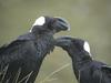 Thick-billed Raven (Corvus crassirostris) - Wiki