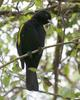 Golden-winged Cacique (Cacicus chrysopterus) - Wiki