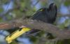 Yellow-winged Cacique (Cacicus melanicterus) - Wiki