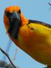 Orange-crowned Oriole (Icterus auricapillus) - Wiki