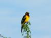 White-edged Oriole (Icterus graceannae) - Wiki