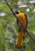 Black-backed Oriole (Icterus abeillei) - Wiki