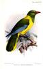 Green-headed Oriole (Oriolus chlorocephalus) - Wiki