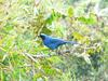 White-collared Jay (Cyanolyca viridicyanus) - Wiki