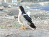 White-throated Caracara (Phalcoboenus albogularis) - Wiki