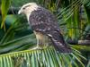 Yellow-headed Caracara (Milvago chimachima) - Wiki