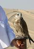 Falcon (Family: Falconidae) - Wiki