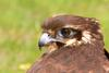Brown Falcon (Falco berigora) head