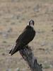 Lanner Falcon (Falco biarmicus), Africa