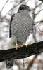 Goshawk species list