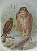Swamp Harrier (Circus approximans) - Wiki