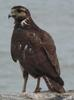 Long-winged Harrier (Circus buffoni) - Wiki