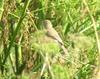 Booted Warbler (Hippolais caligata) - Wiki