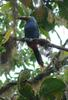 Plate-billed Mountain-toucan (Andigena laminirostris) - The Fruit Loops Bird