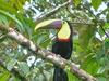 Typical Toucans (Genus: Ramphastos) - Wiki