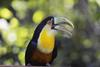 Red-breasted Toucan (Ramphastos dicolorus) - Wiki