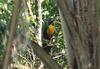 Red-breasted Toucan (Ramphastos dicolorus)