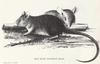 Polynesian Rat, or Pacific Rat (Rattus exulans) - Wiki