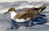 Great Shearwater (Puffinus gravis) - Wiki