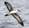 Great Shearwater (Puffinus gravis) in flight