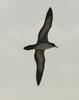Wedge-tailed Shearwater (Puffinus pacificus) in flight
