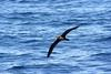 Flesh-footed Shearwater (Puffinus carneipes) - Wiki