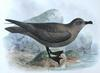 Great-winged Petrel (Pterodroma macroptera) - Wiki