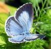 Holly Blue Butterfly (Celastrina argiolus) - Wiki