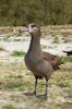 Black-footed Albatross (Phoebastria nigripes) - Wiki