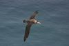 Amsterdam Albatross (Diomedea amsterdamensis) in flight