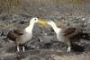 Waved Albatross (Phoebastria irrorata) pair