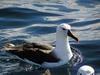 Atlantic Yellow-nosed Albatross (Thalassarche chlororhynchos) floating