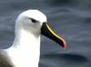 Indian Yellow-nosed Albatross (Thalassarche carteri) - Wiki