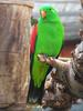 Red-winged Parrot (Aprosmictus erythropterus) - Wiki