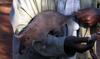 Gambian Pouch Rat (Cricetomys gambianus) - Wiki