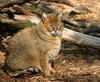 Jungle Cat (Felis chaus) - Wiki