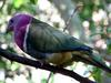 Pink-headed Fruit-dove (Ptilinopus porphyreus) - Wiki