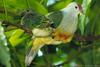 Cook Islands Fruit-dove (Ptilinopus rarotongensis) - Wiki