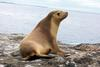 Eared Seals (Family: Otariidae; fur seals and sea lions) - Wiki