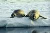 Earless Seals (Family: Phocidae; true seals) - Wiki