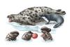 Hooded Seal (Cystophora christata) - Wiki