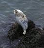 Grey Seal (Halichoerus grypus) - Wiki