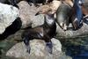 Sea Lions (part of Family: Otariidae) - Wiki
