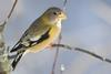 Evening Grosbeak (Coccothraustes vespertinus) - Wiki