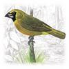 Yellow-green Grosbeak (Caryothraustes canadensis) - Wiki