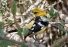 Yellow Grosbeak (Pheucticus chrysopeplus) - Wiki