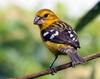 Golden-bellied Grosbeak (Pheucticus chrysogaster) - Wiki
