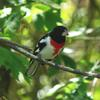 Rose-breasted Grosbeak (Pheucticus ludovicianus) - Wiki